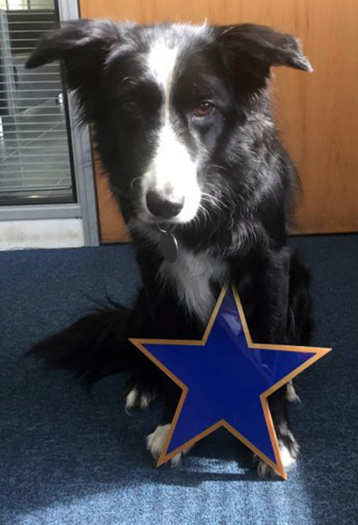 Blue Star Sign with Border Collie Model